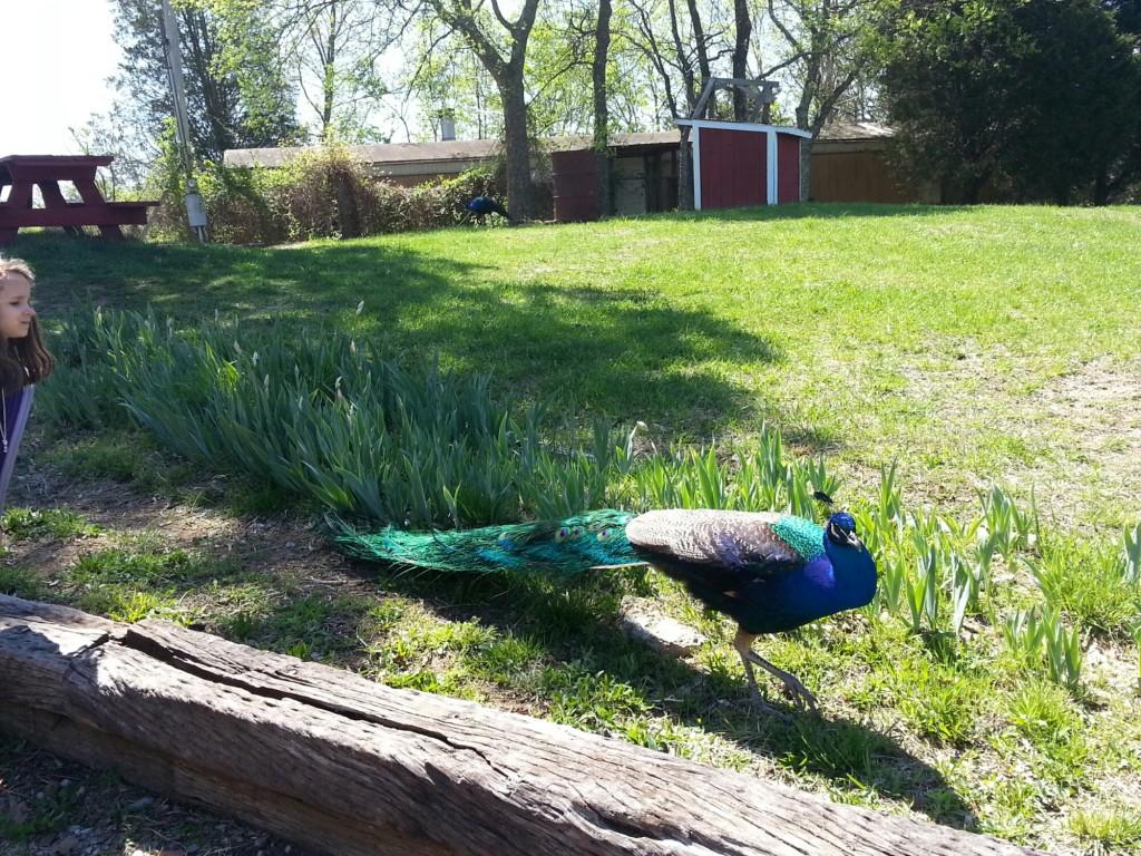Peacock close